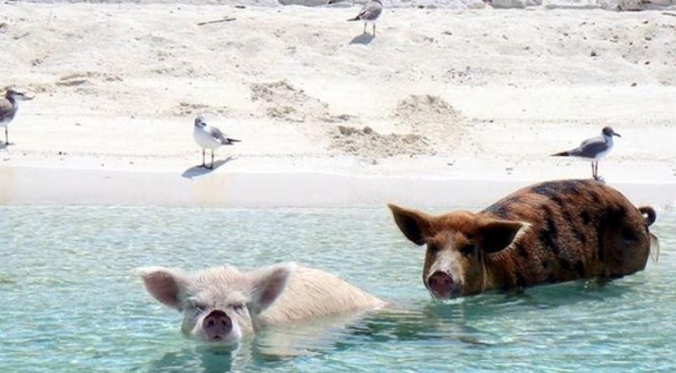 Pulau ini dipenuhi dengan bbi yg pandai berenang dan sangat mnja dengan pengunjung