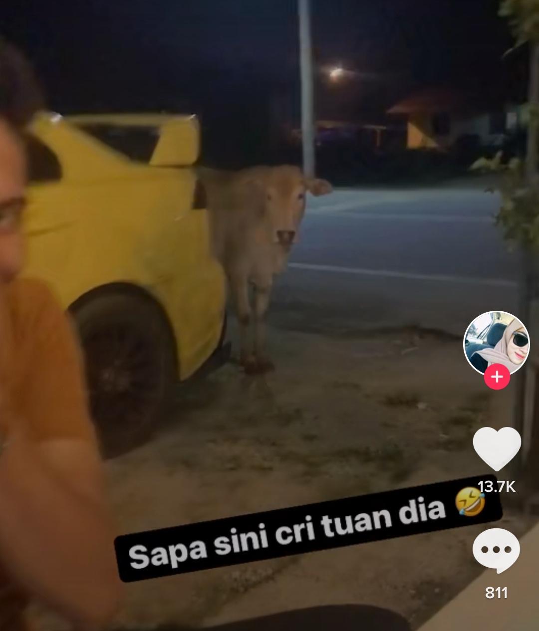 "Video: Lembu datang cari Tuan tengah Iepak ""Mcm bini dok tenung laki…"""